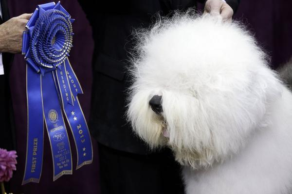 Swagger, an Old English sheepdog, won best in the herding group at the Westminster Kennel Club dog show.