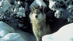 Humane Society of United States files gray wolf lawsuit against U.S. Fish and Wildlife Service