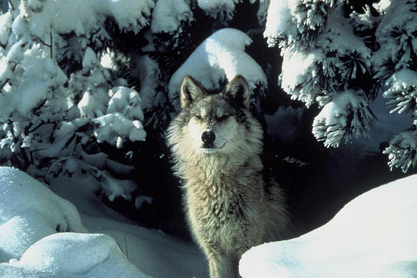 While a coalition called Keep Michigan Wolves Protected is gathering petition signatures to halt a potential wolf hunt in Michigan, the Humane Society of the United States has filed a lawsuit against the U.S. Fish and Wildlife Service.
