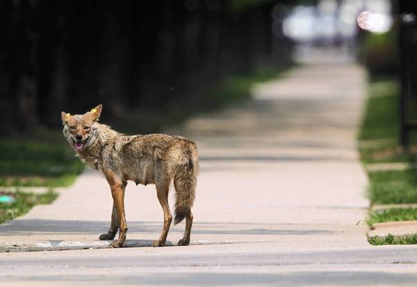 A mother coyote on the sidewalk of the 1300 block of Larrabee Street June 3, 2011.