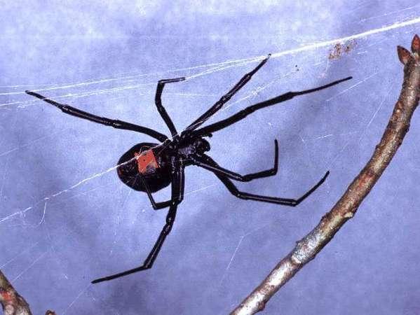 A black widow spider like this one bit Daniela Holmqvist.