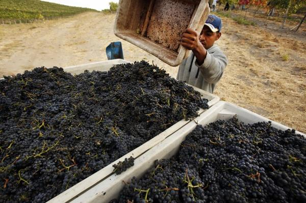 A worker harvests pinot noir grapes in October at the Sea Smoke vineyards in the Santa Rita Hills, near Lompoc. The California grape harvest rebounded in 2012 to a record high of more than 4 million tons.