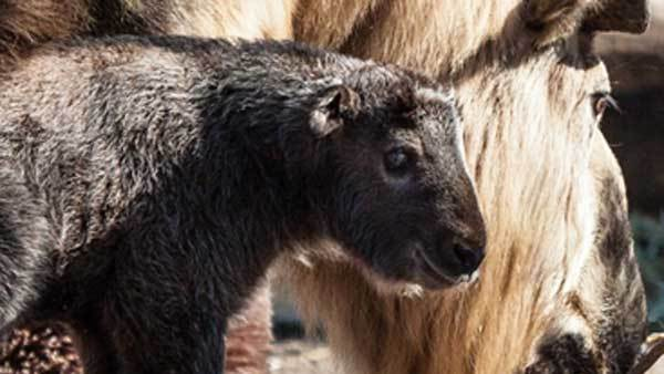 One of the recently born Sichuan takin calves at Lincoln Park Zoo.