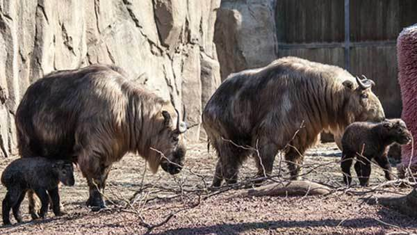 Two Sichuan takin calves at Lincoln Park Zoo.