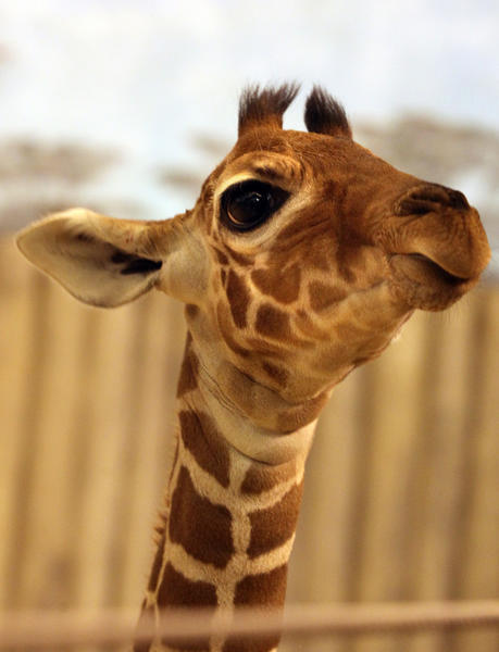 A recently born reticulated giraffe calf appears to pose for the camera at Brookfield Zoo on Nov. 21, 2012.  The calf was born Nov. 12.