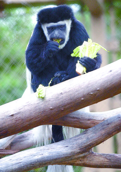 A colobus monkey enjoys a treat at the Los Angeles Zoo.