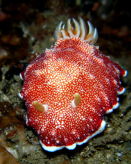 Chromodoris reticulata sea slug