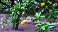 Why do my orange trees have no fruit? Blame pruning, watering