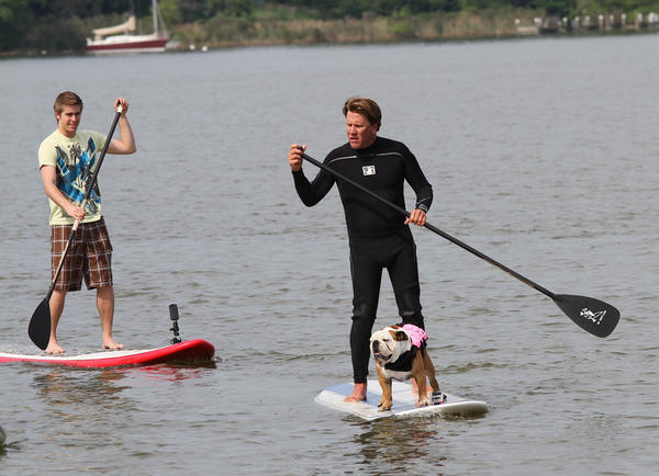 Tillman the dog paddleboards in Annapolis.
