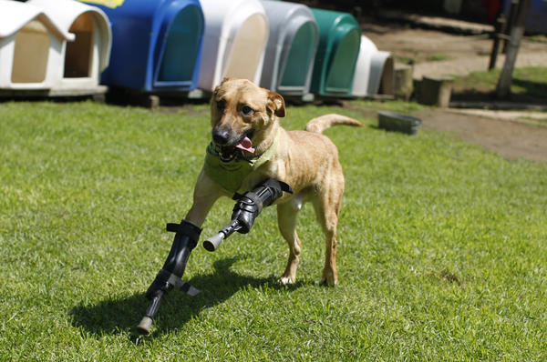 A dog named Pay de Limon (Lemon Pay) runs fitted with two front prosthetic legs at Milagros Caninos rescue shelter in Mexico City. Members of a drug gang in the Mexican state of Zacatecas chopped off Limon's paws to practice cutting fingers off kidnapped people. Residents found Limon in a dumpster. After administering first aid procedures, they managed to take him to Milagros Caninos, an association that rehabilitates dogs that have suffered extreme abuse. The prosthetic limbs were made at OrthoPets in Denver after the shelter was able to raise over $6,000.