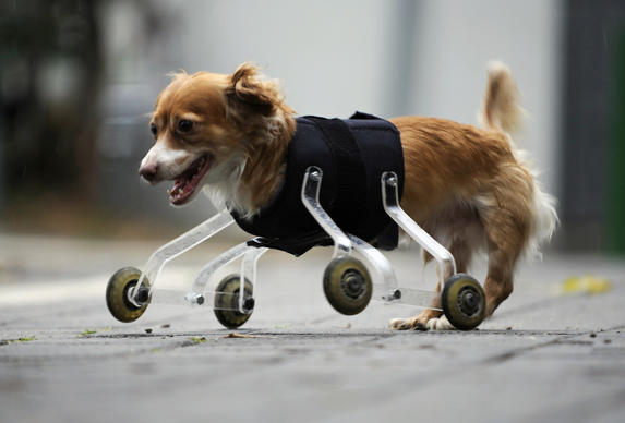 Hoppa, a four-year-old mixed breed dog born without front legs, uses a prosthetic device to walk outside in the central Israeli city of Tel Aviv. The device was invented especially for Hoppa by a animal-loving art student, who hopes his wheeling device will improve the lives of pets born with abnormalities or with amputated limbs.