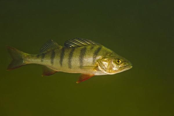 Pharmaceutical drugs that end up in the world's waterways after being excreted, flushed and treated at wastewater treatment plants may change fish behavior and lead to unexpected ecological impacts, according to a new study of wild European perch in the journal Science.