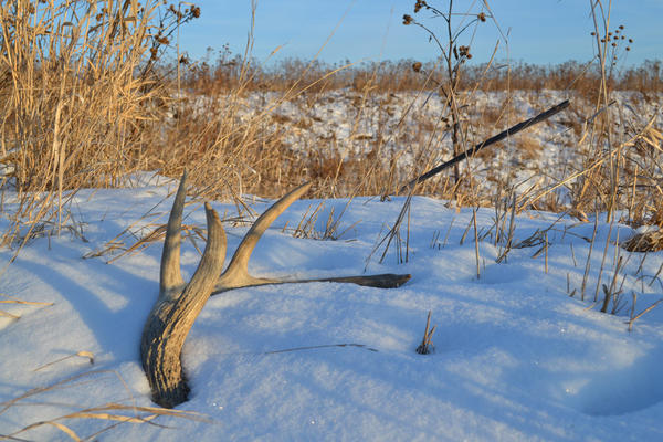 Deer shed their antlers annually, providing outdoorsmen and women the opportunity to extend their deer season by going shed hunting in late winter and early spring.