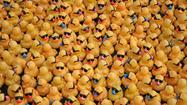 A swarm of rubber ducks wearing sunglasses will turn Fort Lauderdale's New River into an unruly, bobbing sea of yellow during Saturday's Duck Fest Derby.