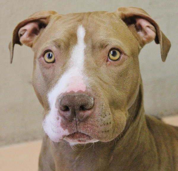 Izzy is a pit bull terrier mix who is looking for a loving home.