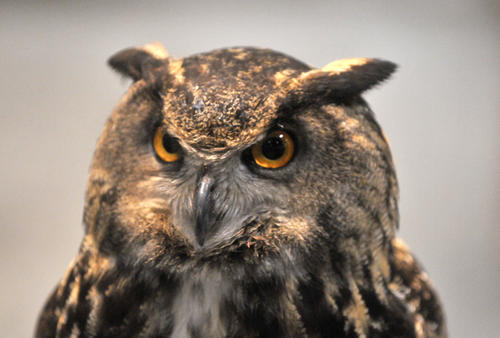 A live great-horned owl at the Northeast Hunting & Fishing Show at the Connecticut Convention Center Friday.