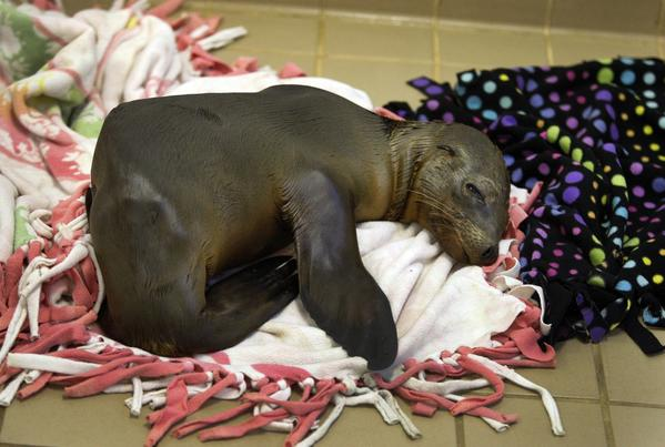 A sea lion pup rests in the center's nursery. The new arrivals start off in what could pass as a couple of emptied-out laundry rooms, where the pups snuggle on blankets or splay out their flippers to warm their emaciated bellies on the heated tile floors.