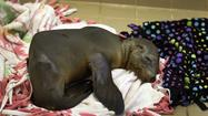 Caring for sea lion pups