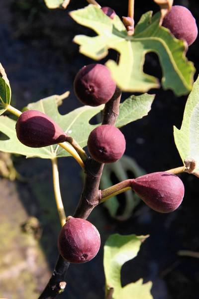 February is fig-planting time. Photo courtesy Hollybrook Orchards