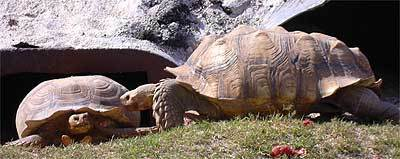 Tortoise are on display at Robert Is Here, an eclectic Florida City fruit stand that make a great stop on the way to the Keys.
