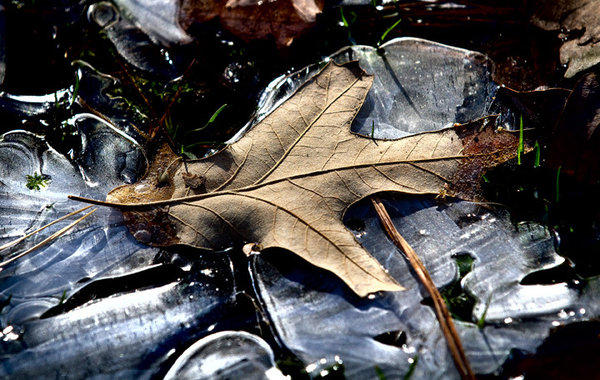 Frozen In Time. Overnight with the falling temperatures in the 20s, the water has turned into ice and encased last year's leaves in ice along with any of the new growth on the roadsides at Newport News Park this morning.