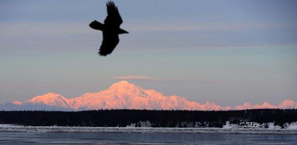 A raven rides a light breeze near Mt. McKinley, the 20,320-foot-high star of Denali National Park in Alaska.