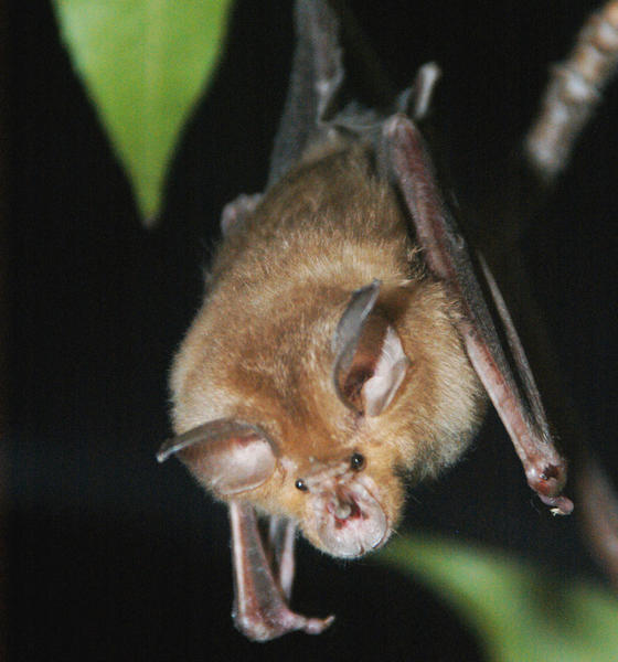 The horseshoe bat changes the pitch -- and sometimes the amplitude -- of its calls in response to background noise, a new study in PNAS finds.