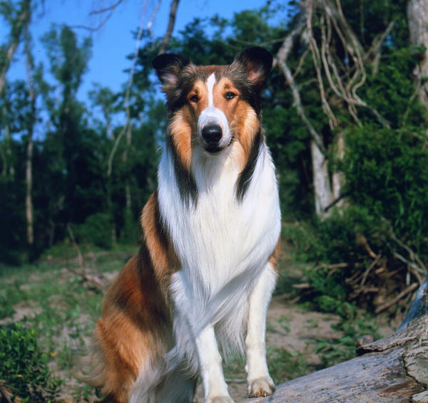 A portrait of Lassie II, a male collie dog who portrayed the female titular character of the television series 'Lassie' in 1959.