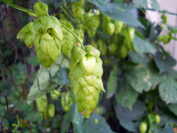 Hops plants in flower