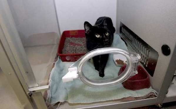 After surviving a fire in Glendale on Monday, the black cat rests in an intensive care oxygen chamber at TLC Pet Medical Center in South Pasadena.