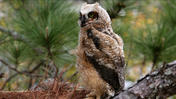 Fallen baby Great Horned Owl rescued by Audubon Center for Birds of Prey