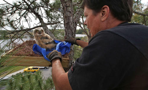 After placing a platform with pine needles a baby Great Horned Owl is placed back into its nest tree at Seminole State College by Brian Fresk, a volunteer Arborist  for Audubon Center for Birds of Prey.