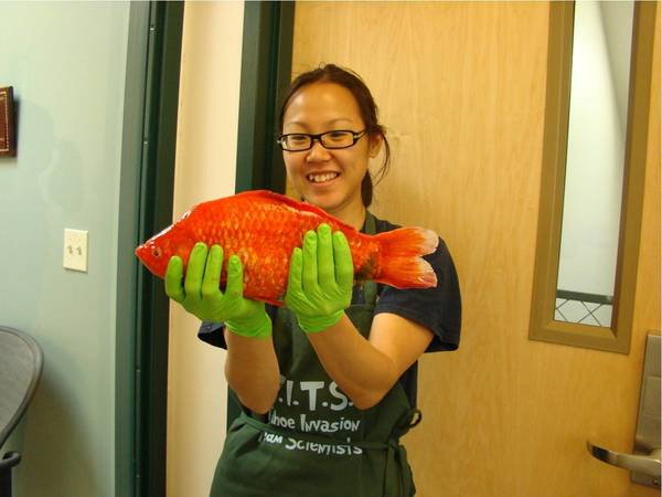 Christine Ngai, a researcher at the University of Nevada, Reno, holds a giant goldfish pulled from Lake Tahoe. The monstrous creatures are just one of several aquatic invasive species that have colonized the lake for years, scientists say.
