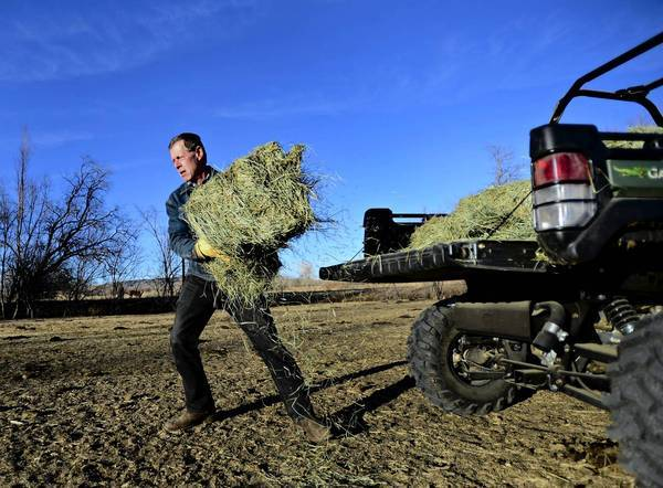 A rancher loads hay to feed his cattle in Hygiene, Colo. Drought has cut hay yields and driven up costs for those raising cattle.