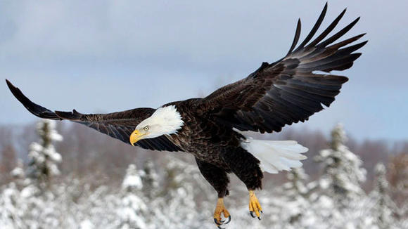 A bald eagle cruises in for a landing on Jim Habasco¿s farm outside of Boyne City, where Teresa and Michael McGill take photographs in winter.