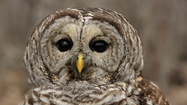 VIDEO Hopkins studies owl neck rotation
