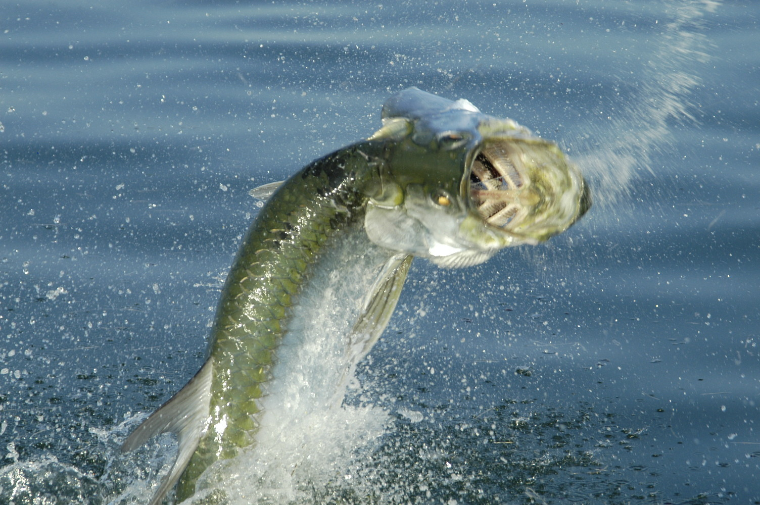 2013 florida hunting and fishing guide tarpon orlando for Florida tarpon fishing