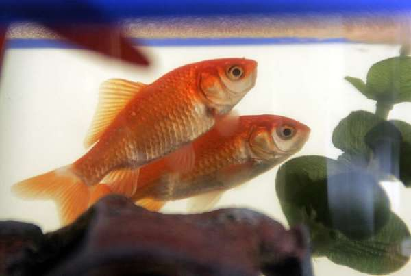 Aquarium pets, such as goldfish, that are dumped into rivers, lakes and the ocean can disrupt natural ecosystems.