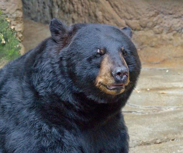 Black bear photo taken at the Cincinnati Zoo.