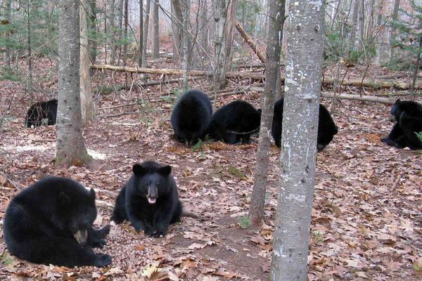 A group of orphaned cubs eat acorns in the enclosed, eight-acre area on Ben Kilham's New Hampshire property. Kilham, a bear rehabilitator, works in partnership with the state's Fish and Game Department.