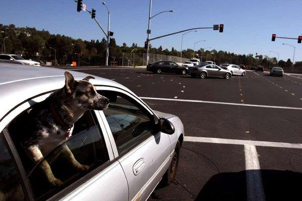 Dog day afternoon in traffic: Looking out on Sunset Bridge, recently reopened to traffic after two years of construction in West Los Angeles.
