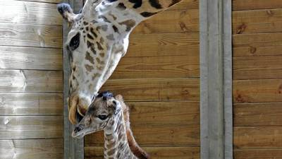 Brevard Zoo welcomes another new baby giraffe