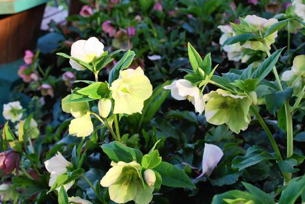 Hellebores flowers make nice cut-flowers for indoor bouquets. Photo courtesy The Gardener's Workshop