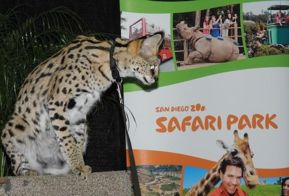 Bella the serval appeared at the Los Angeles Times Travel Show on Sunday.