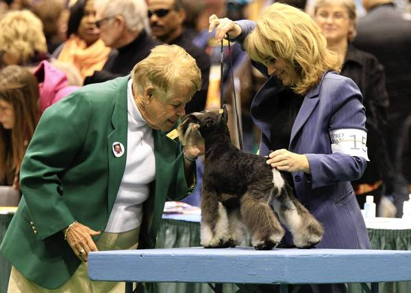 Judge Peggy Haas, left, goes nose to nose with Tryst, an 8-month-old miniature schnauzer shown by Lauri Sicurella, of Bensenville, on Sunday at McCormick Place. Haas, of Montgomery, is a veteran of the circuit and has been judging at the International Kennel Club of Chicago show for years.