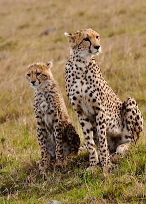 A cheetah and cub seen during a safari in Tanzania.