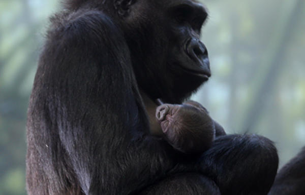 Rollie holds her baby, Nayembi, before she was named, at Lincoln Park Zoo in November.
