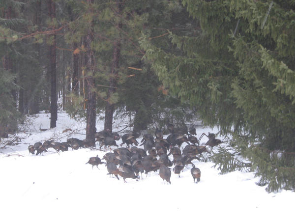 Linda Gallagher, president of the Traverse Bay Chapter of the Michigan Wild Turkey Hunters Association, is feeding a flock of about 60 turkeys in Antrim County.