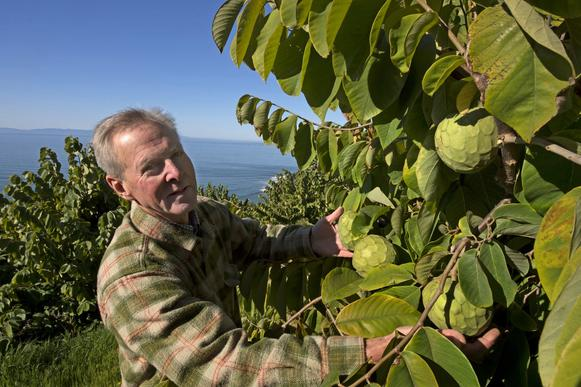 Anthony Brown inspects Bays cherimoyas at his Rincon Del Mar Ranch in Carpinteria.