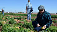 Researchers, scientists and agricultural business representatives evaluated a carrot crop at the University of California Desert Research Extension Center in El Centro on Tuesday.